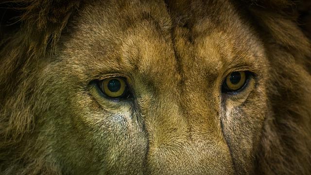 lõvi. foto: Pixabay