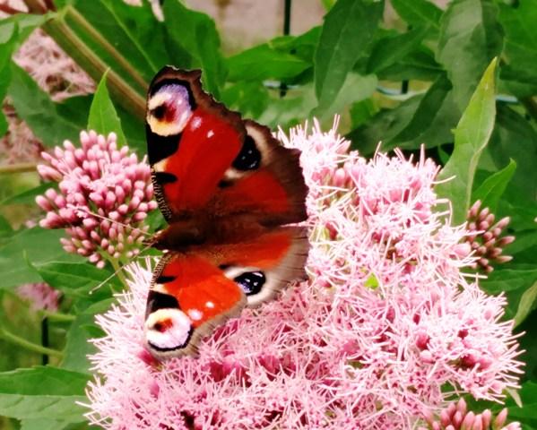 Kui liblika süda oleks raske, kas ta suudaks nii vabalt lennata?