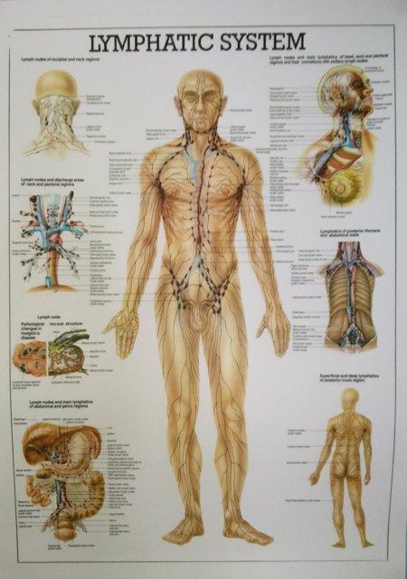 Lümfisüsteem on keerukas ja erakordselt tähtis lümfi liikumiseks