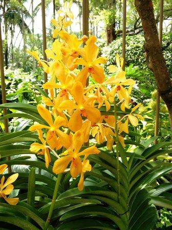 Singapur orhidee