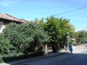 Bulgaaria granaatõunapuu