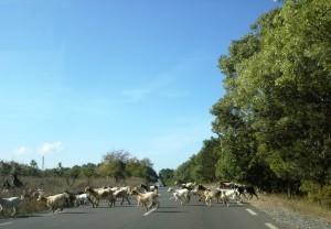 kitsed Bulgaaria teel