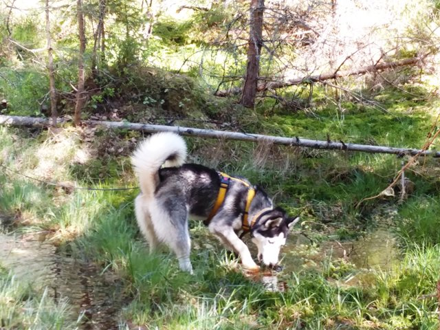 sõber husky