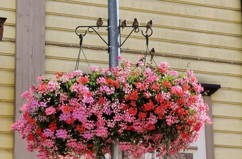 Pärnu varblased ja lilled