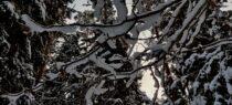 Milline on lumise metsa ja immuunsüsteemi vaheline seos?