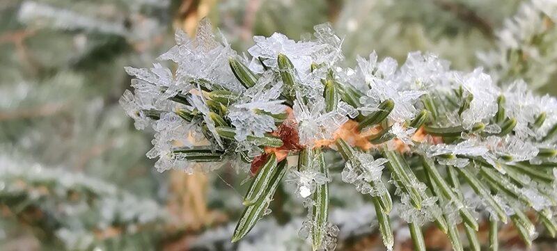 jääkristallid männioksal